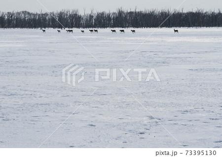 凍結した野付湾を渡るエゾシカの群れ 73395130