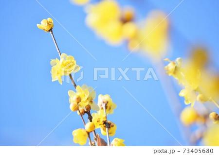 青空と満開の蝋梅(ロウバイ)の花 73405680