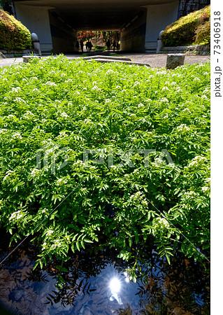 港北ニュータウン・さぶねの道のクレソンの花 73406918