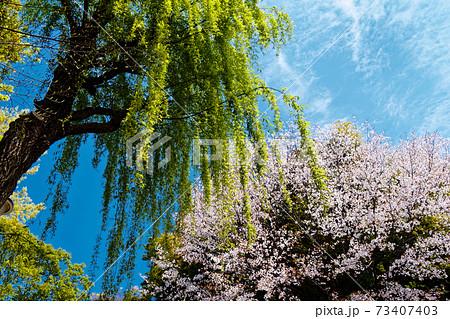 港北ニュータウンの緑道の新緑と桜 73407403
