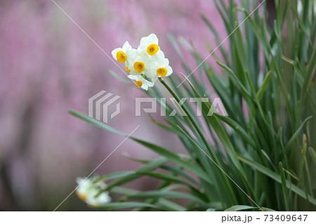 水仙の花と梅園(名古屋市農業センター 愛知県名古屋市) 73409647