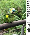 南米のインコ 73409687