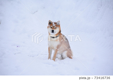 柴犬 73416736