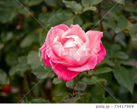 12月の8分咲き赤い薔薇(プリンセスチチブ) 73417909