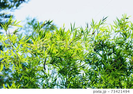 笹の葉 73421494