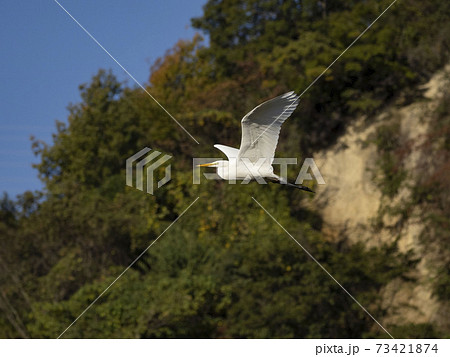 ダイサギの飛翔 73421874