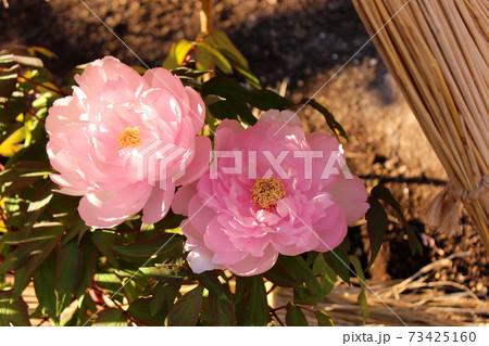 上野東照宮ぼたん苑で満開になったピンク色の冬ぼたん「八千代椿」(8) 73425160