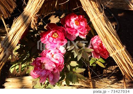 陽射しを浴びる上野東照宮ぼたん苑の「太陽」という名の冬ぼたん 73427034