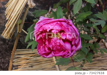 藁囲いの中で開花した上野東照宮ぼたん苑の冬ぼたん(6) 73427638