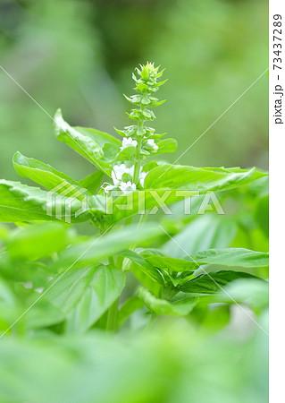 バジルの白い花と実(バジルの葉) 73437289