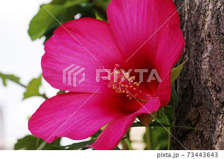 アメリカ芙蓉(モミジ葵)の真紅の花弁が優雅な風情 73443643