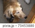 ミニチュアダックス シェーテッドレッド 73453880