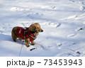 冬のお散歩 ミニチュアダックス  73453943