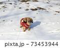 冬のお散歩 ミニチュアダックス  73453944