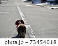 冬のお散歩 ミニチュアダックス 73454018