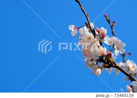 ソメイヨシノの花と澄んだ青空 岡山県小田郡矢掛町 73460139