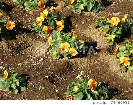 三陽メデアフラワーミュージアム前庭の綺麗に咲いたビオラの花 73460951