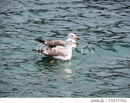 伊根の海で横に並んで泳ぐ2羽のかもめ 73472701