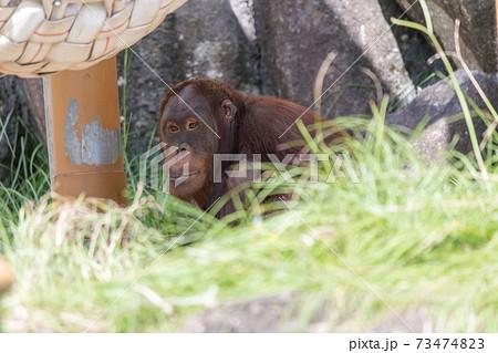 【多摩動物公園のオランウータン】 73474823