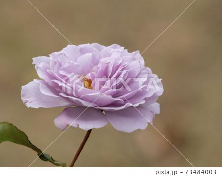 薄い紫色のバラ リベラル 73484003