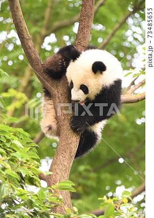 木から降りようとしている赤ちゃんパンダ 73485655