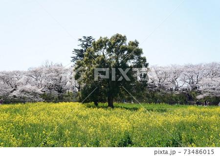 満開の桜と菜の花の競演が美しい幸手権現堂堤 木立中央 73486015