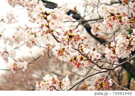 【東京】春の千鳥ヶ淵緑道 寒空と満開の桜(暖色加工) 73491449
