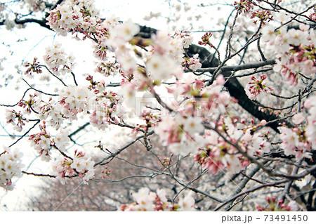 【東京】春の千鳥ヶ淵緑道 寒空と満開の桜(前ボケ) 73491450