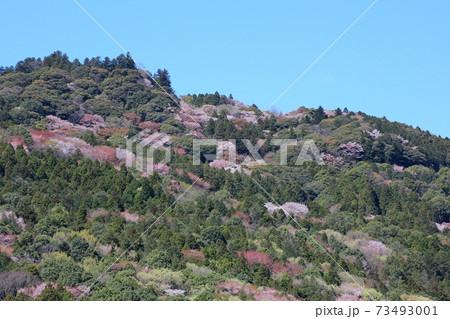 青空と雲を背景に山桜咲く愛宕山 笠間市 73493001