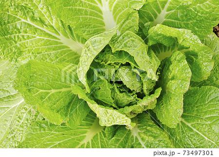 白菜 野菜畑 はくさい畑 冬野菜 イメージ素材 73497301