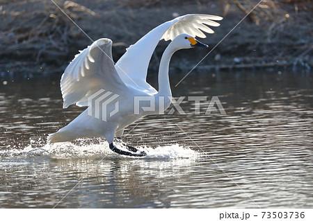 埼玉県比企郡川島町白鳥飛来地 白鳥の着水 73503736