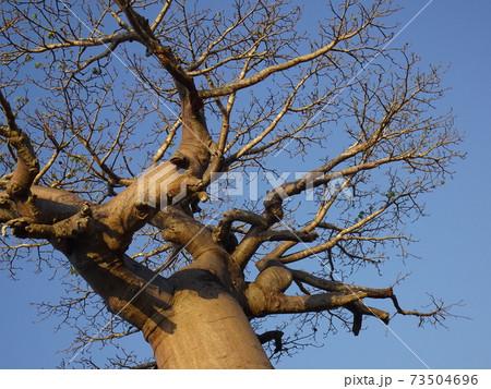 下から見上げたバオバブの木(マダガスカル) 73504696