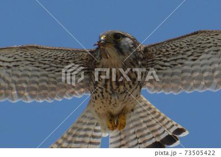 エサをくわえて飛ぶチョウゲンボウの優しい目 73505422