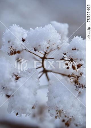 ウドの実に付いた雪、綿帽子のよう(縦位置) 73505496