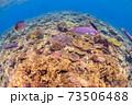 サンゴ 73506488