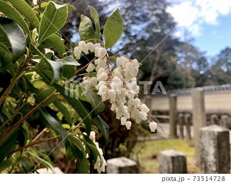 上品な鈴蘭の花がお寺の庭に咲き春の訪れの予感 73514728