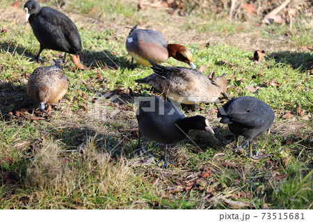 日本の埼玉県元荒川の河川敷で餌をついばむオオバンとヒドリガモの群れ 73515681