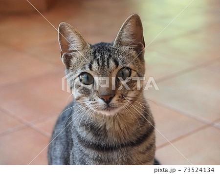 猫のいる生活(キジトラの顔アップ) 73524134