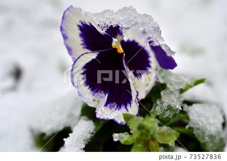 パリの初雪に埋もれたパンジーの花 73527836