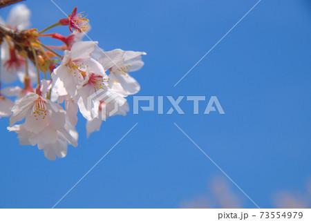 ソメイヨシノの花と青空 岡山県岡山市東区 73554979