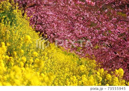 神奈川県松田町西平畑公園 内藤園の河津桜と菜の花 73555945