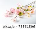 桜の木の枝 73561596
