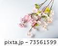 桜の木の枝 73561599