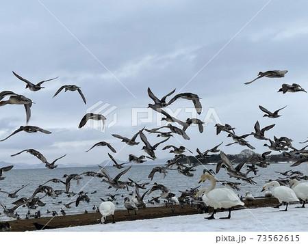 2021年の福島県の猪苗代湖の志田浜の白鳥と飛び立つ鴨 73562615