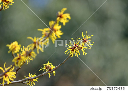 春一番に咲く花 73572436