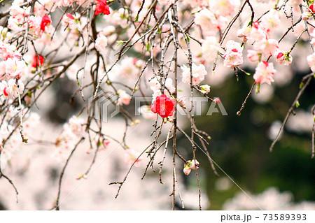 【東京】春の上野恩賜公園 ピンクと赤の枝垂れ花桃 73589393
