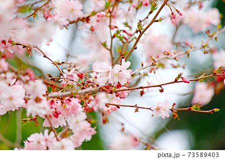 【東京】春の上野恩賜公園 鮮やかな枝垂れ桜 73589403