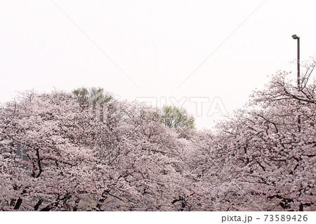 【東京】春の上野恩賜公園 さくら通りの満開の桜 73589426