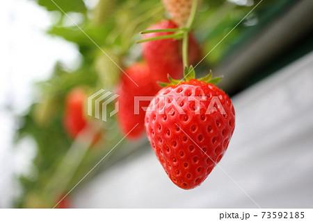 真っ赤に熟れたイチゴ 73592185