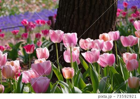 陽ざしの中、ピンクのチューリップ 73592921